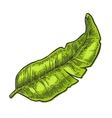 Two single and bunches of fresh banana with leaf vector image vector image