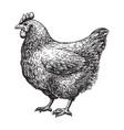 chicken sketch vector image vector image
