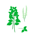 Parts of Holy Basil Plant on White Background vector image vector image