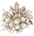 engraving radish vector image vector image