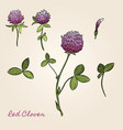 red clover botanical vector image vector image