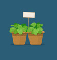 young seedlings in peat pots vector image vector image
