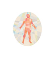 Gross Anatomy Male Oval Low Polygon vector image vector image