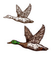 wild duck mallard isolated sketch icon vector image