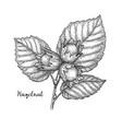 ink sketch of hazelnut branch vector image vector image