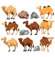Camel in different poses vector image