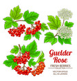guelder rose plant set on white background vector image