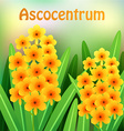 Orange Ascocentrum orchid flowers with green vector image vector image