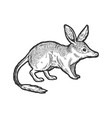 bandicoot animal sketch engraving