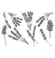 lavender flower herbal ink sketch design element vector image vector image