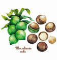 watercolor macadamia nuts vector image vector image