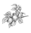 apricot branch pencil drawing vector image