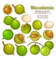 macadamia plant isolated vector image vector image
