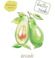 avocado watercolor vector image vector image