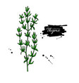 thyme drawing isolated thyme plant with vector image vector image