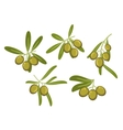 Olive tree branches with green fruits and leaves vector image vector image