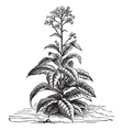 Tobacco plant vintage engraving vector image vector image