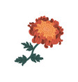 romantic orange and red chrysanthemum realistic vector image