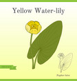 yellow water-lily or brandy-bottle nuphar lutea vector image