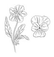 pansy flower ink sketch on white background vector image