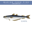 Blue Whiting Marine Food Fish vector image vector image