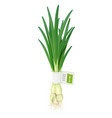 onion ripe green vegetable vector image vector image
