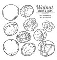 walnut seeds set on white background vector image vector image