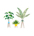indoor plants tropical ficus or palm in vector image vector image