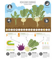 kohlrabi cabbage turnip beneficial features vector image vector image
