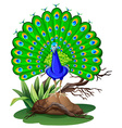 Wild peacock standing on rock vector image