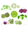 cabbage beneficial features graphic set gardening vector image vector image