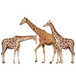 three tall giraffes on white background vector image vector image