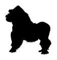 black silhouette african gorilla vector image vector image