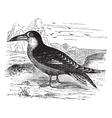Black Skimmer vintage engraving vector image vector image