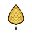 autumn yellow linden leaf isolated on white vector image vector image