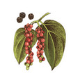 hand drawn black pepper plant vector image vector image