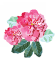 Watercolor Pink Rose flowers isolated vector image vector image