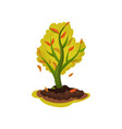 flat icon of young apple tree with red vector image