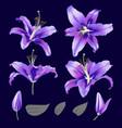 ultraviolet lily flower blossom set vector image vector image