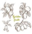 garden fruits apples apricots cherries plums vector image