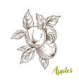 apples branch and leaves hand drawn vector image