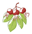 rose hip plant icon natural vitamin rosehip vector image vector image