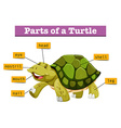 Different parts of turtle vector image vector image