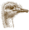 engraving of big ostrich vector image vector image