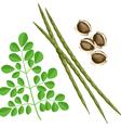 moringa oleifera plant vector image vector image