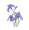 detailed drawing of spring iris flowers and buds vector image vector image