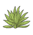 agave plant sketch vector image