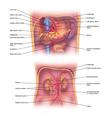 Abdominal veins vector image vector image