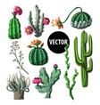 cacti with flowers isolated on a white background vector image vector image
