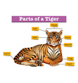 Diagram showing parts of tiger vector image vector image
